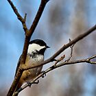 Chickadee by Richard Lee