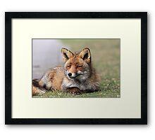 Red fox 3405 Framed Print