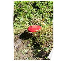 Classic red and white potted toadstool. Fly agaric or Fly amanita (Amanita muscaria) Poster