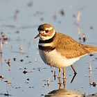 Little Killdeer by Kathy Baccari