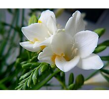 fragrant freesia Photographic Print