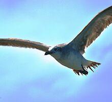 Sea Gull in Flight by joevoz