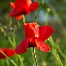 Red poppy flower by Magdalena Warmuz-Dent