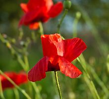 Red poppy flower by Magdalena Warmuz-Dent