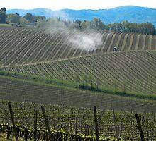fields of grape plantings by Anne Scantlebury