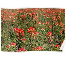 Indian Paintbrush Field Poster
