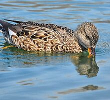 Female Gadwall Duck by Elaine  Manley