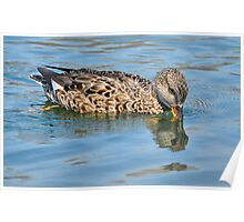Female Gadwall Duck Poster