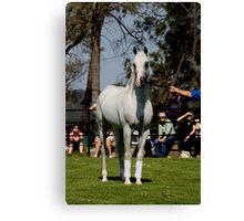 Purebred Arabians Stallion at Mulawa Stud  Canvas Print