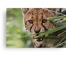 Cheetah Stalk Canvas Print