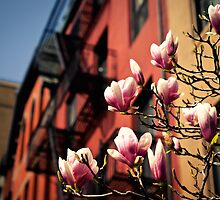 Japanese Magnolias - Spring - New York City by Vivienne Gucwa