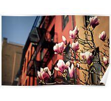 Japanese Magnolias - Spring - New York City Poster