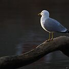 Sunset Gull by Alinka