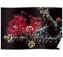 Red spiky thing Bluff Knoll Stirling Ranges Wetern Australia 19820830 0040 Poster