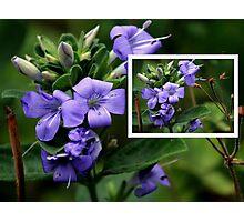 Blue Browallia Photographic Print