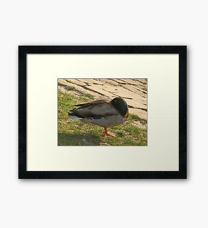 Sleeping duck Framed Print
