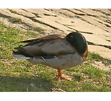Sleeping duck Photographic Print