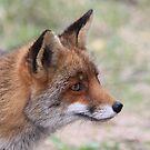 Red Fox 3347 by DutchLumix