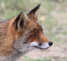 Red Fox 3347 by DutchLumix