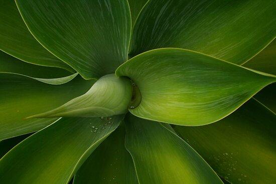 Agave plant .. Green swirls by Michael Matthews