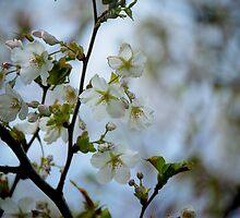 Pear Blossom by linaji
