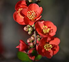 Red Flowering Quince by Colin Metcalf