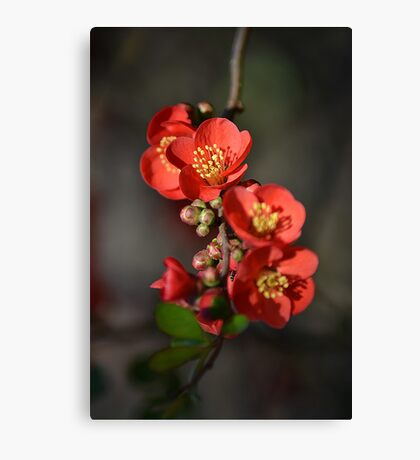 Red Flowering Quince Canvas Print