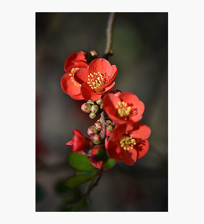 Red Flowering Quince Photographic Print