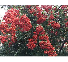 Red autumn berries Photographic Print