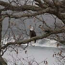 Bald Eagle by ffuller