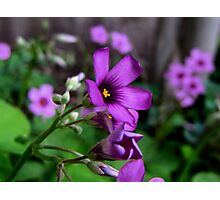 Purple Passion - Oxalis Flower, Sherman, Texas, USA Photographic Print