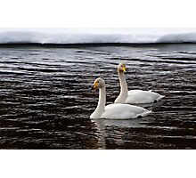 Whooper swans Photographic Print