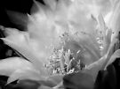 Trichocereus Bloom in Black & White by Lucinda Walter