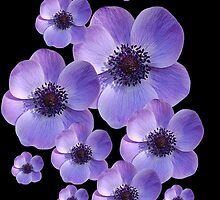 Anemones by Gillian Cross