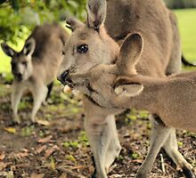 Kangaroo Kisses by Robyn Forbes