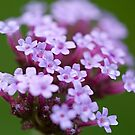 Purple Verbena by Gillian Cross