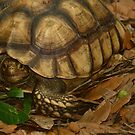 gopher turtle by Margaret  Shark