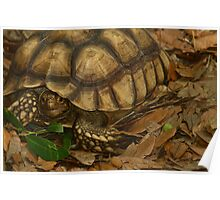 gopher turtle Poster