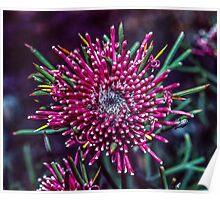 Bug on Red isopogon flower Bluff Knoll Stirling Ranges Australia 19820830 0054 Poster