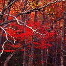 Flame Red in Autumn by ©  Paul W. Faust