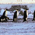 Emperor Penguins Coming Home by Carole-Anne