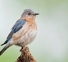 Bluebird Feather Ball by Bonnie T.  Barry