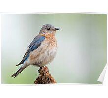 Bluebird Feather Ball Poster