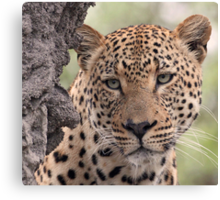 Dominant male leopard(please stop raining i can`t see even up here!) Canvas Print
