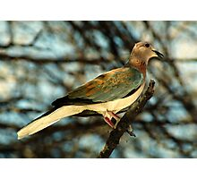 Laughing Dove Photographic Print