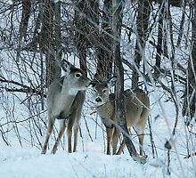 White tail deer by ffuller
