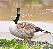 Canadian Goose by OOSweet