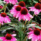 echinacea unveiled by Christine Ford