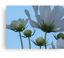 White Cosmos Flowers Canvas Print