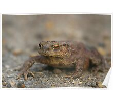 Common Toad (Bufo bufo) Poster